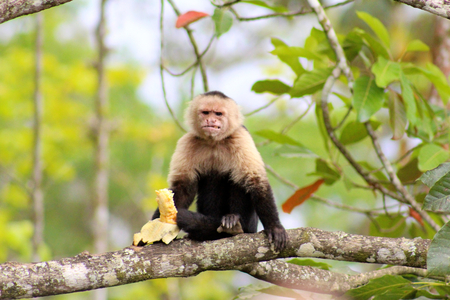 eating banana: monkey eating banana Stock Photo