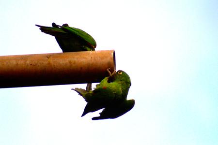 loros verdes: green parrots playing Foto de archivo