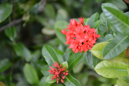 ixora: Red Ixora flower in garden