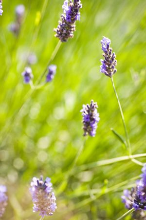 lavender coloured: Insect gathering pollen on lavender flowers Stock Photo
