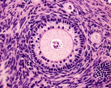 Light microscope micrograph of an ovary. Primary follicle with a big round ovocyte surrounded by the zona pellucida and two layers of granulosa cells.