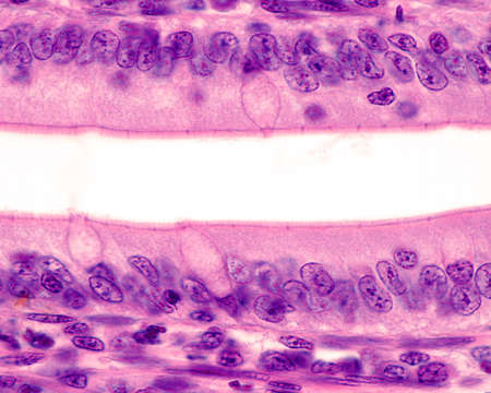 Simple columnar epithelium of the small intestine. The apical surface shows a well developed brush border. In the center, the cup of three goblet cell are seen. Light microscope micrograph. H&E stain.