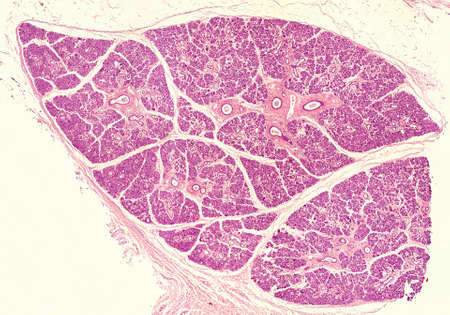 Low magnification micrograph of a human submandibular gland, stained with hematoxylin-eosin. The parenchyma show many lobules and large secretory ducts.