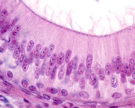 Pseudostratified columnar epithelium of the epididymis. The epithelial cells show stereocilia in the apical surface.