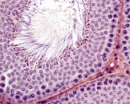 Spermatogenesis. Male germinal epithelium showing spermatogonia, spermatocytes in meiosis (pachytena), spermatids, and spermatozoa with their tails protruding into the lumen.