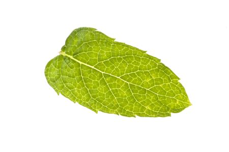 A fresh mint leaf, isolated.