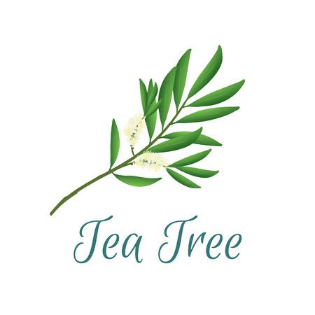 ilustración con árbol de té, también nombrado como Malaleuca alternifolia, utilizado en la aromaterapia y la medicina Ilustración de vector