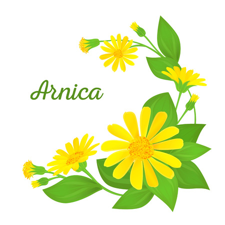 floral illustration with branches of arnica with flowers, buds and leaves. Medicinal plant