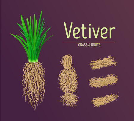 Vetiver grass (khus or Chrysopogon zizanioides), roots and leaves. Design vector elements of vetiver