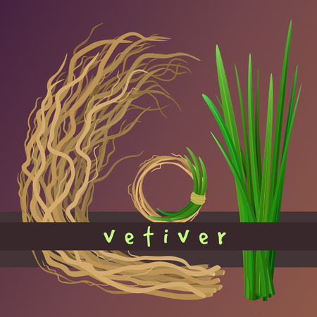 Vetiver grass (khus or Chrysopogon zizanioides), roots and leaves. Wreath with vetiver. Vector elements