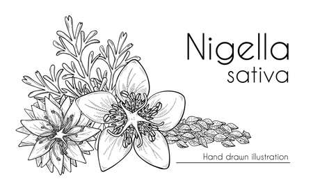 Nigella sativa flowers, seeds and leaves, black cumin. Hand drawn design, line art, vector illustration. Culinary ingredient or cosmetic