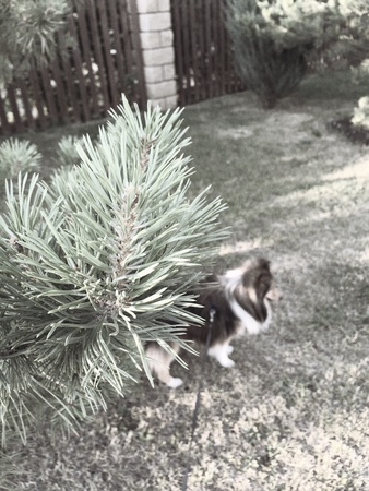 sheltie: Russia Sheltie Dog Behind the Christmas Tree Stock Photo