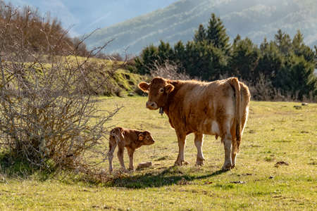 Cow and calf in nature.