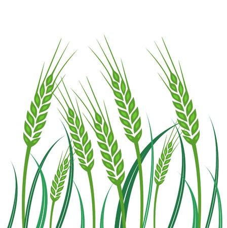 green wheat: Field of Green Wheat - illustration Illustration