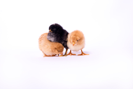 chicks: Tree little chicks Stock Photo
