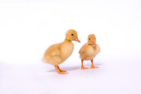ducklings: Two ducklings