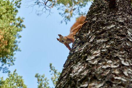 Red squirrel on tree Zdjęcie Seryjne
