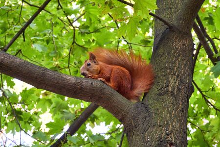 Red squirell on tree