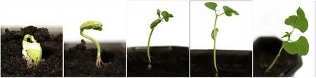 Growing white bean seed in five stages photo