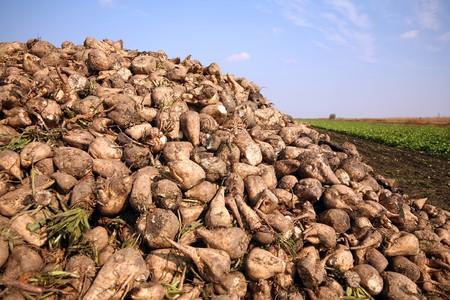 remolacha: Pila de remolacha azucarera en el campo despu�s de la cosecha