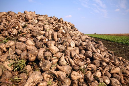 beet: Sugar beet pile at the field after harvest