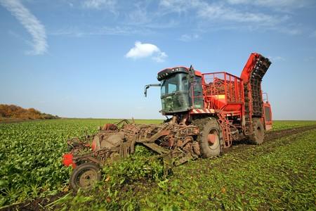 Harvester ist Zuckerrüben im Feld Ernten