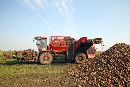 remolacha: Cosechadora es cosechar remolacha azucarera en el campo
