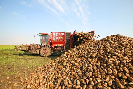 Harvester is harvesting sugar beet at the field