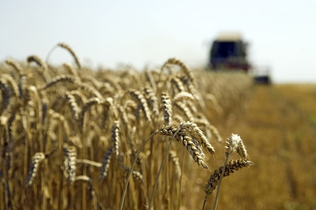 winnowing: Combine at wheat field is harvesting Stock Photo