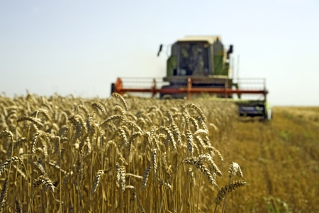 reaping: Combine at wheat field is harvesting Stock Photo
