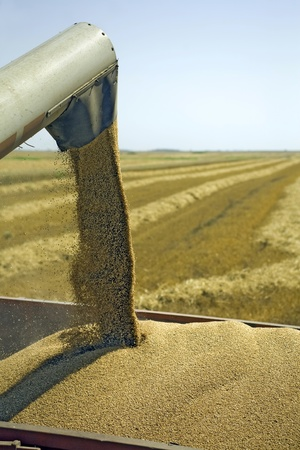 Combine is filling wheat grains into tractor trailer Stock Photo