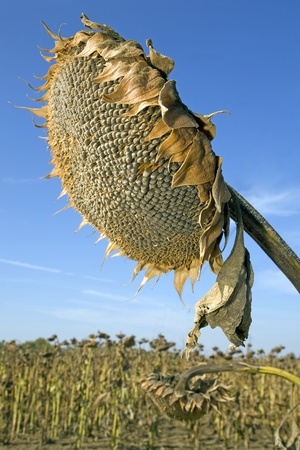 Harvesting of sunflower seeds at field in Europe Stock Photo - 11057842