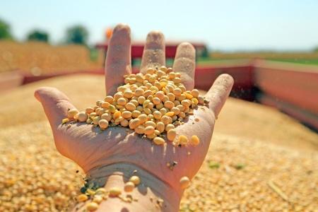 cosechadora: Recolecci�n y transporte de la soja Foto de archivo