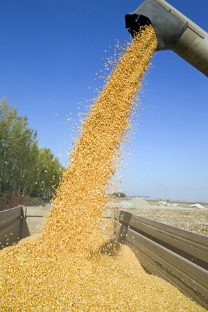 Dumping corn seeds at tractor trailer photo