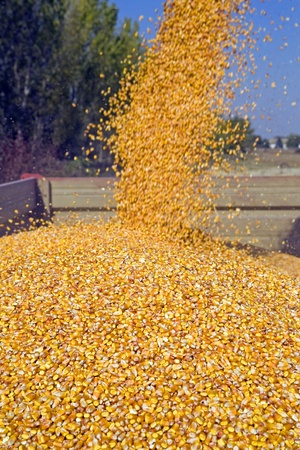 Dumping corn seeds at tractor trailer