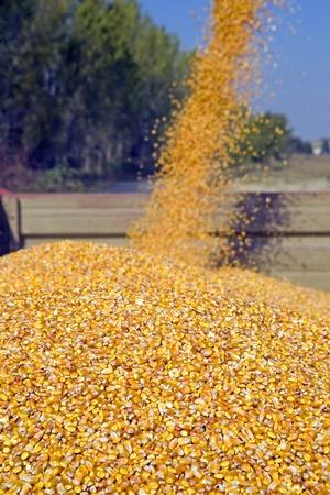 Corn seeds in tractor trailer