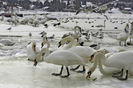 Frozen river Danube at South Europe, swans, seagulls and coots Stock Photo