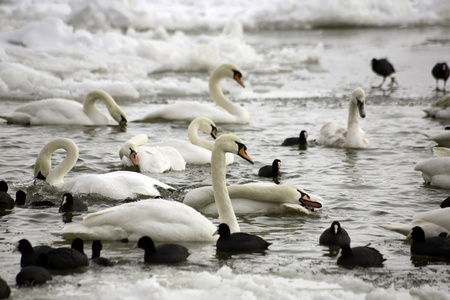 Frozen river Danube at South Europe, swans and coots Stock Photo - 12450254