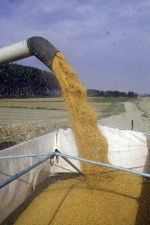 dumping: Corn seeds dumping from harvester to tractor Stock Photo