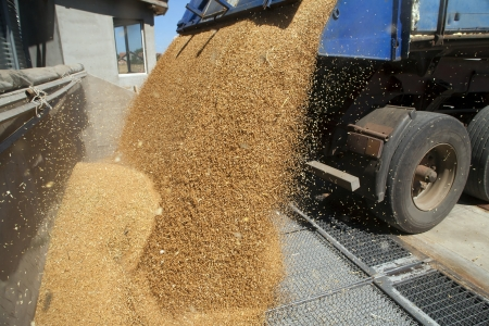 grains: Tractor is dumping wheat grains to silo