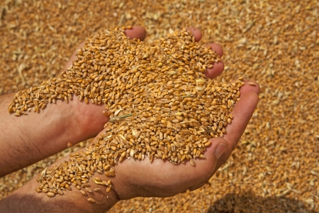Wheat grains in hands at mill storage Stock Photo