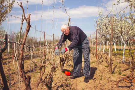 Tuinman met een scherpe snoeischaar het maken van een druif snoeien - het snijden van takken in de lente.