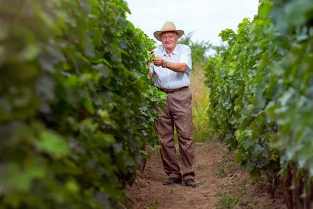 winemaker: Senior winemaker in vineyard before harvest