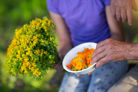 to prefer: Old hand prefer flowers of calendula. Childrens hand holds the Klamath weed Stock Photo