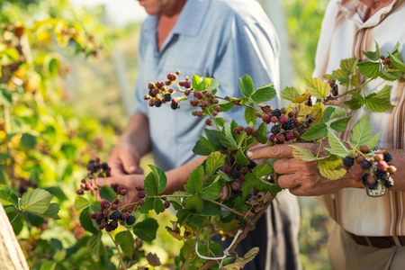 Senior men picking blackberries in the orchard