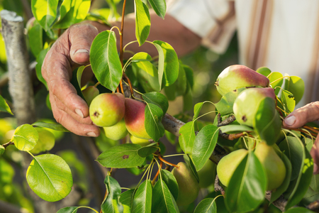 Senior man picking pears in his orchard close up Stock Photo