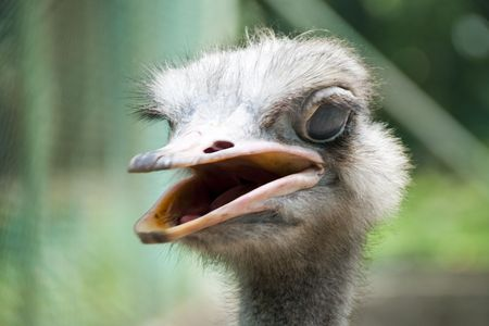 A angry Ostrich in Kuala Lumpur Birds Park photo