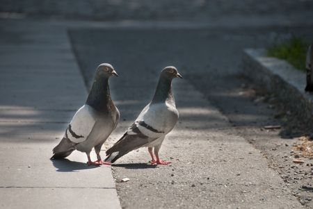 side viewing: Pigeons on the Street,  Oslo, Norway