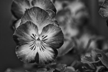 christmas perfume: Daisy Flowers in a Tuscan Garden, Italy Stock Photo