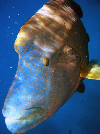 Humphead Maori Wrasse Face on the Great Barrier Reef, Queensland, Australia Stock Photo - 8216727